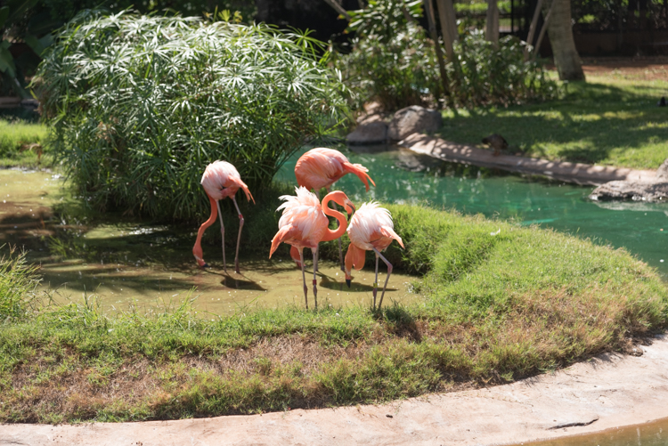 フラミンゴ@ホノルル動物園
