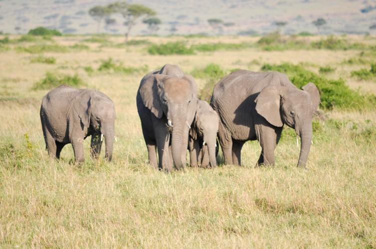 アフリカゾウの群れ-3