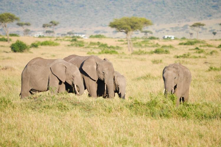 アフリカゾウの群れ-2